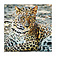 Armani's Stare 16-Inch x 16-Inch Cheetah Photo Print