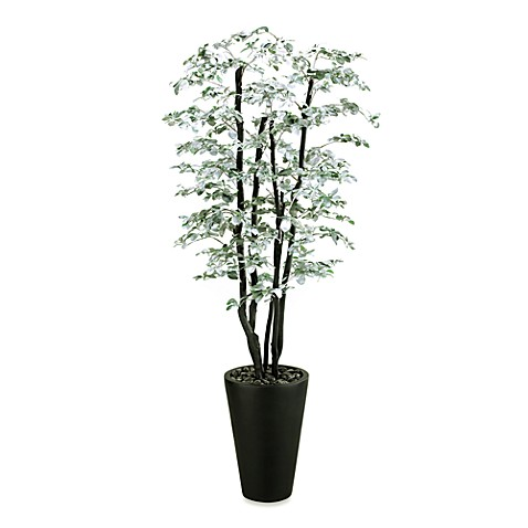 7-Foot Tall Black Olive Tree
