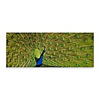 PrintCopia Collection Peacock Display Canvas Print