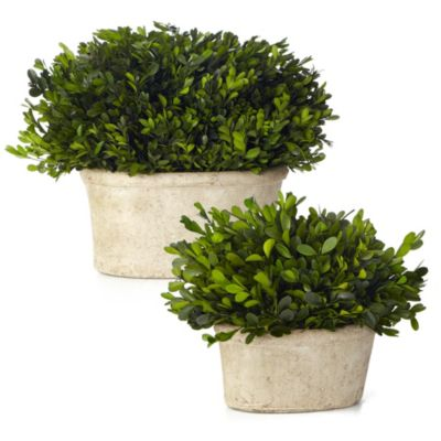 Sage Floral Small Oval Boxwood Potted Plant