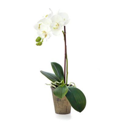 Sage Floral Double Phaleonopsis Plant in 6-Inch Terracotta Pot