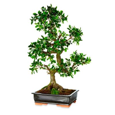 35-Inch Bonsai Potted Plant