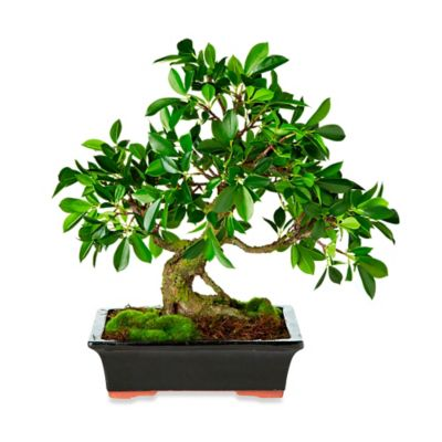 17-Inch Bonsai Potted Plant