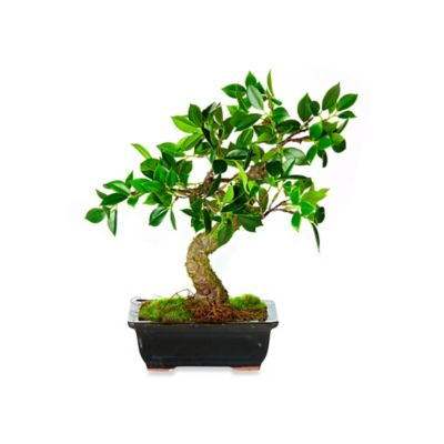 12-Inch Bonsai Potted Plant