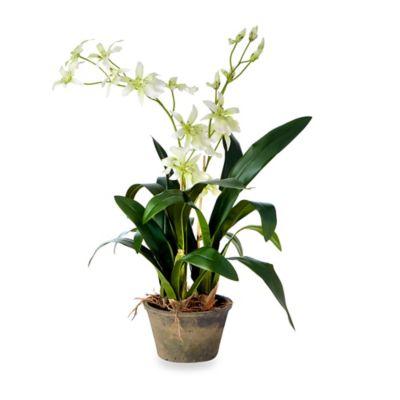 Sage Floral Double Odontoglossum Plant in Terracotta Pot