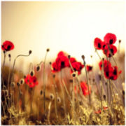Fields of Flower Poppy Canvas Wall Art