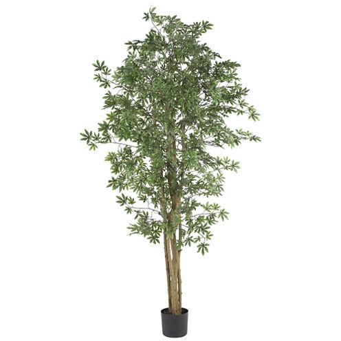 6' Japanese Maple Silk Tree