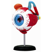 4D-Human Eyeball Anatomy Model