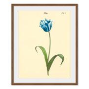 Tulipa No. 1 Framed Print