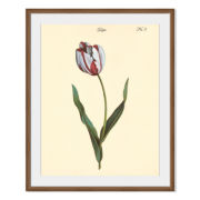 Tulipa No.3 Framed Print