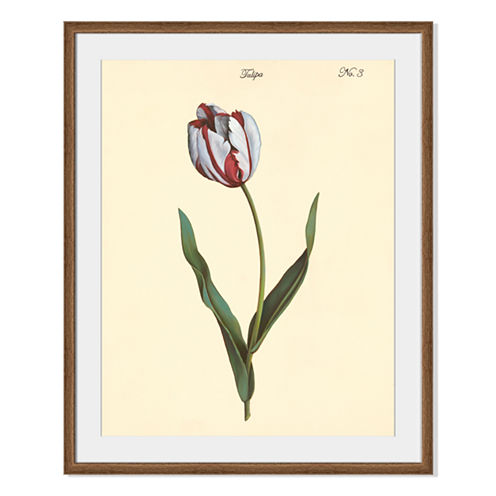 Tulipa No.3 Framed Print