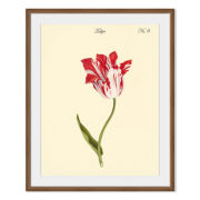 Tulipa No.6 Framed Print
