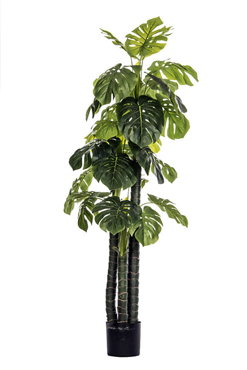 72 Inch Tall Monstera Ceriman Outdoor/Indoor