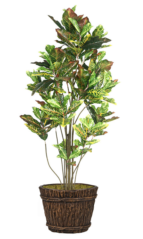 80 Inch Tall Croton Tree With Multiple Trunks In Planter