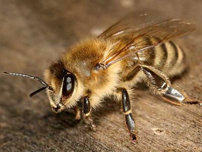 MURDOCH'S CARNIOLAN BEES