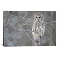 Barred Owl On Branches 60-Inch x 40-Inch Canvas Wall Art