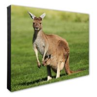 Photo File Kangaroo 16-Inch x 20-Inch Photo Canvas Wall Art