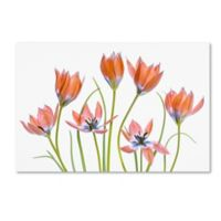 Trademark Fine Art Mandy Disher Apricot Tulips 27-Inch x 33-Inch Canvas Wall Art