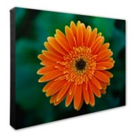 Orange Daisy 20-Inch x 24-Inch Canvas Wall Art