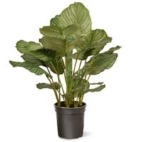 National Tree Company® 30-Inch Artificial Calathea Plant in Planter