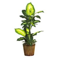 Nearly Natural 3.5-Foot Artificial Golden Leaf Dieffenbachia Plant in Wicker Basket