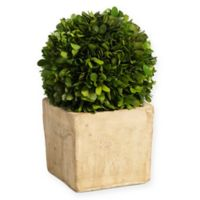 Zodax Carina 9.5-Inch Preserved Boxwood Topiary in Green