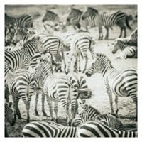Zebras 24-Inch Wrapped Canvas Wall Art