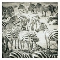 Zebras 30-Inch Wrapped Canvas Wall Art