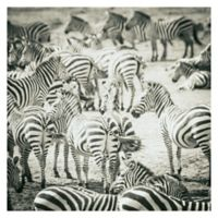 Zebras 35-Inch Wrapped Canvas Wall Art
