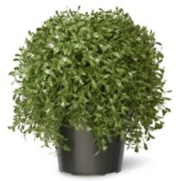 National Tree 18-Inch Argentia Plant with Green Pot