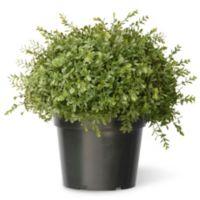 National Tree Mini Tea Leaf with Growers Pot