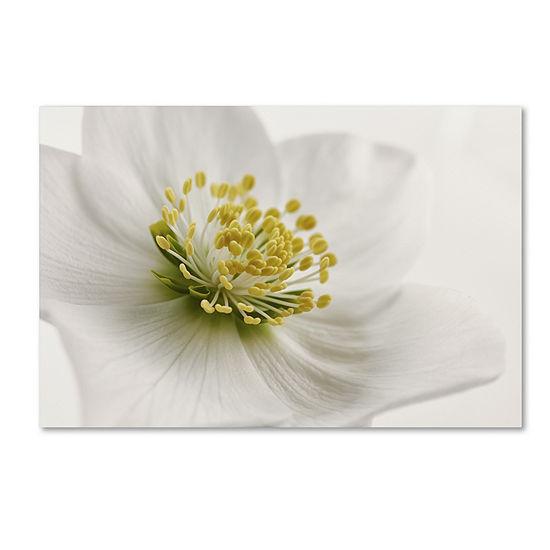 Trademark Fine Art Cora Niele White Helleborus Giclee Canvas Art
