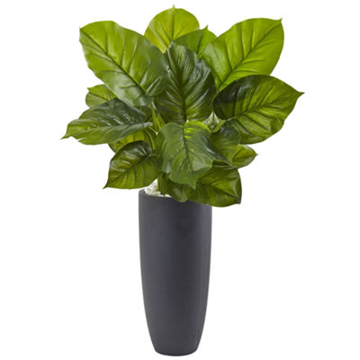 Large Leaf Philodendron