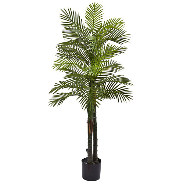 5.5' Double Robellini Palm  Tree