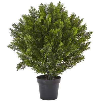 3' Cedar