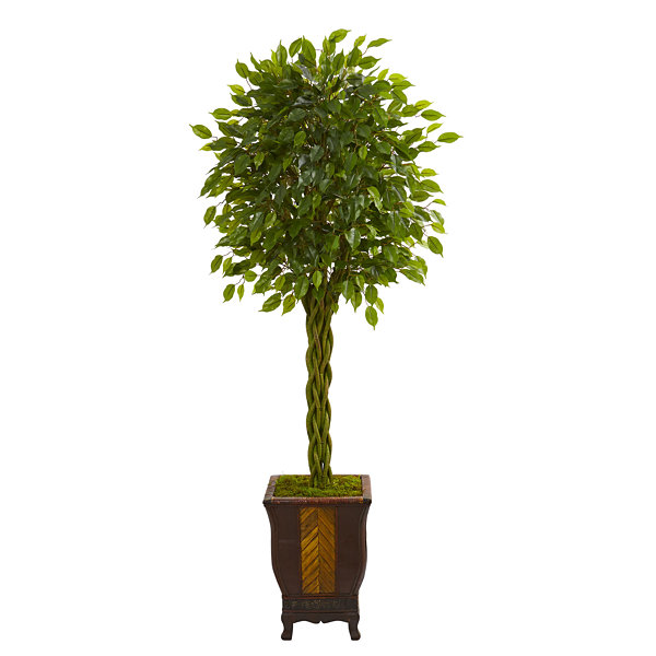 6' Braided Ficus Artificial Tree in Decorative Planter