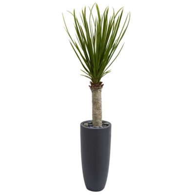 4' Yucca Tree in Gray Cylinder Planter