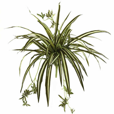 "4-pc. 23"" Spider Plant Bush"