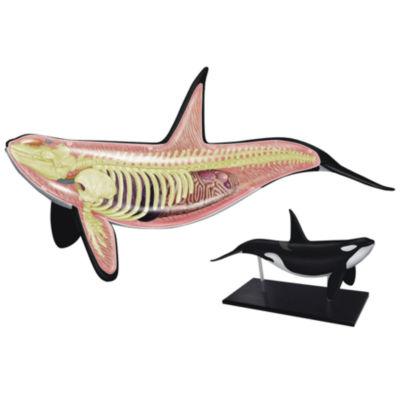 4D-Vision Orca Anatomy Model