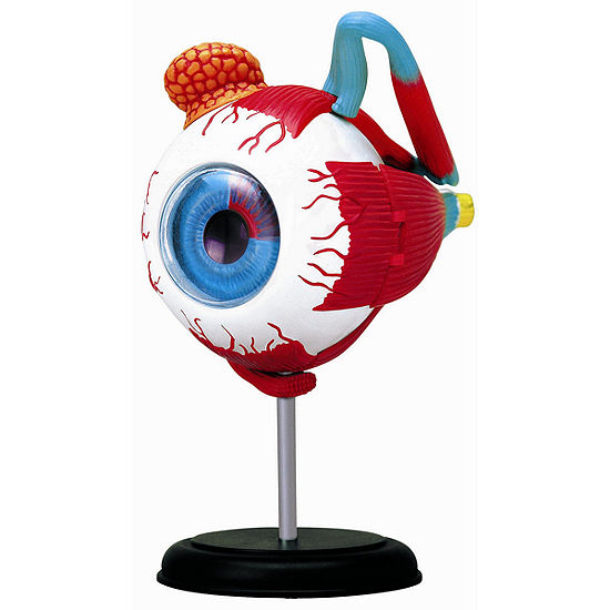 4D-Human Eyeball Anatomy Model