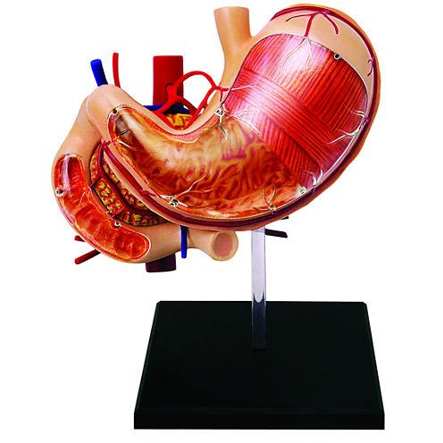 4D-Human Stomach Anatomy Model