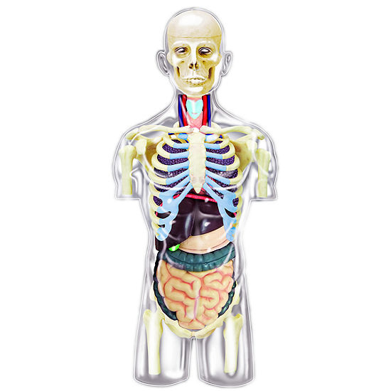 4D-Transparent Human Torso Anatomy Model