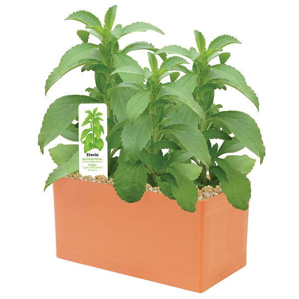 Dunecraft Sweet Leaf Plant Kit