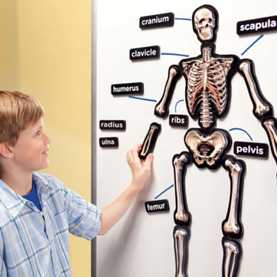 Educational Insights 3-D Magnetic Demonstration Skeleton