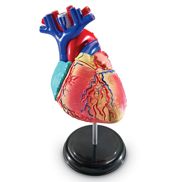 Learning Resources Heart Anatomy Model Jcpenney