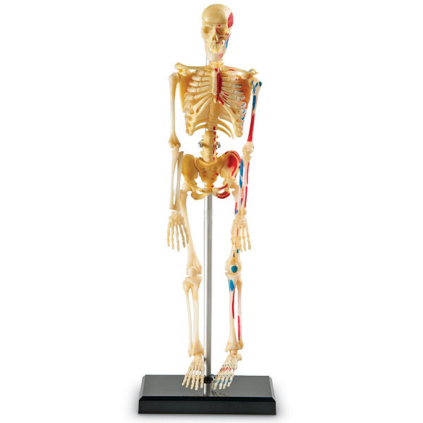 Learning Resources Skeleton Anatomy Model