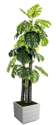 78 Inch Tall Indoor/Outdoor Monstera Ceriman In Fiberstone Pot