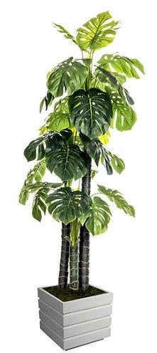 78 Inch Tall Indoor/Outdoor Monstera Ceriman In Fiberstone Pot