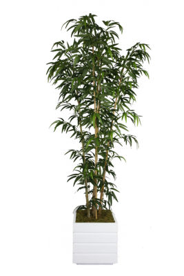 78 Inch Tall Natural Bamboo Tree In 14 Inch Planter