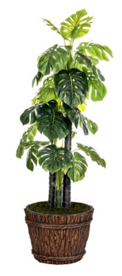 80 Inch Tall Indoor/Outdoor Monstera Ceriman In Fiberstone Planter
